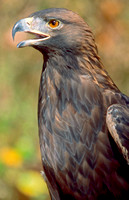 Golden Eagle 001